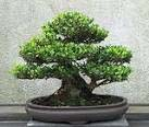 bonsai copy
